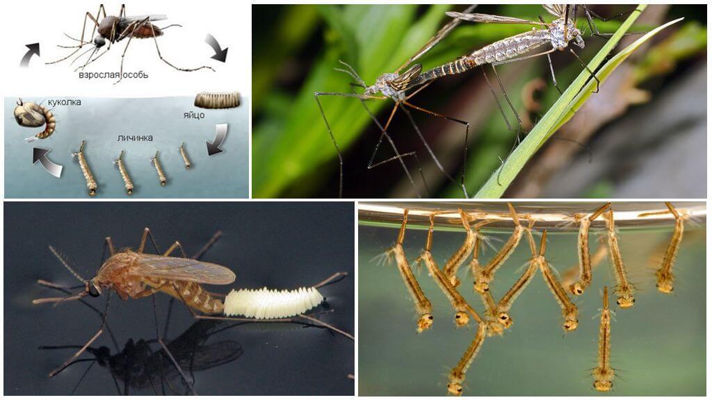 Reproductie van de mug