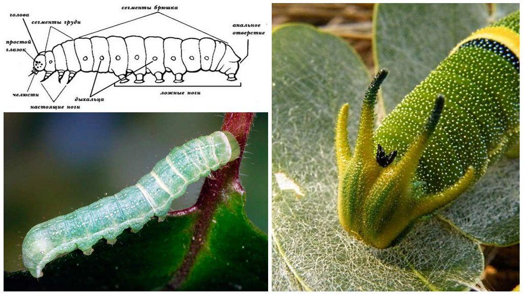Caterpillar-structuur