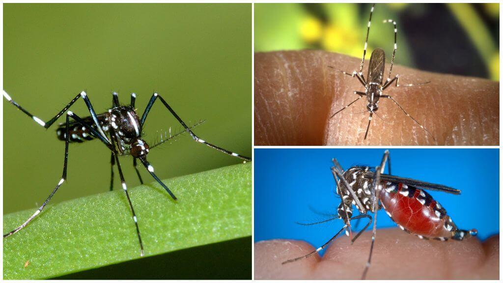 Vertegenwoordigers van de soort Aedes (kusaki)