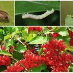 Planten van Viburnum