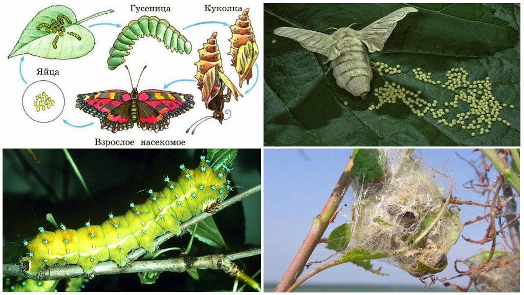 Levenscyclus van de vlinder
