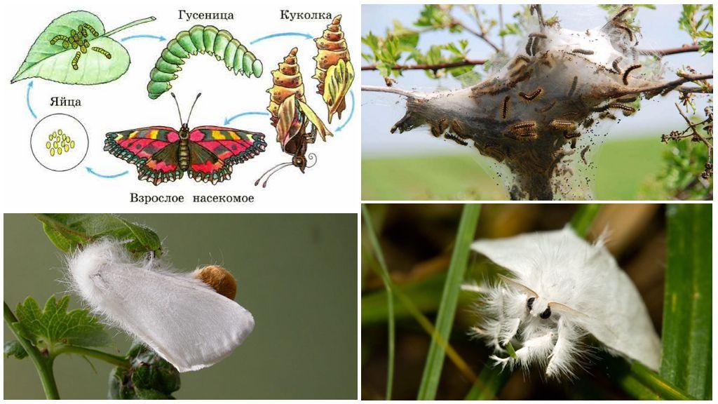 Vlinder reproductie