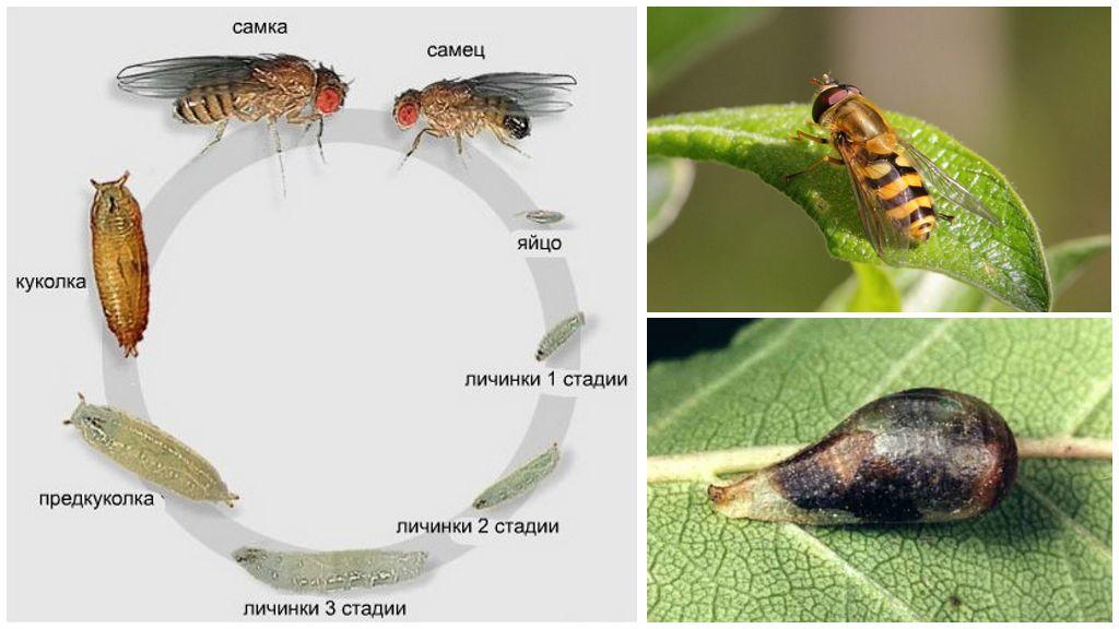 De levenscyclus van fly-sirfidy