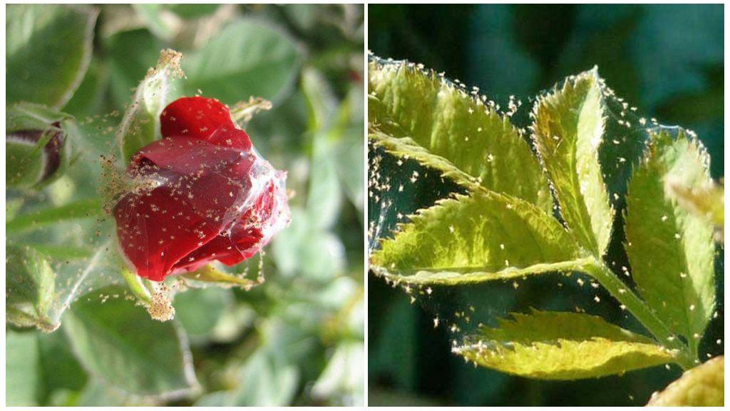 Spiderweed planten