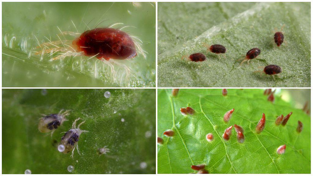 Spint en zijn larven