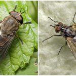 Gadfly (links) en de scarabee (rechts)