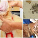 Ear Tick bij honden