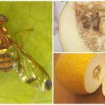 Meloen vlieg