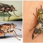 Hematopagische vliegen