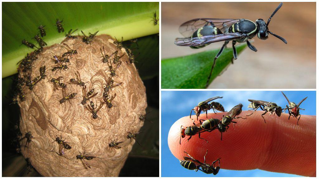Honingwespen van de soort Polybius Occidentalis