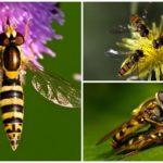 Flies zweefvlieg