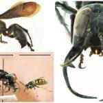 Wasp megalara garuda