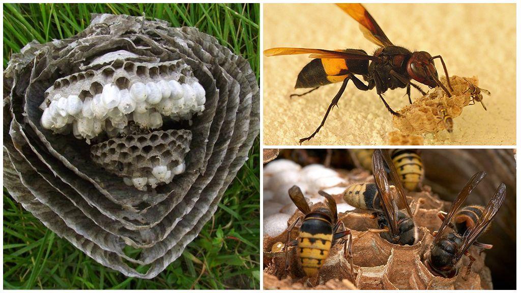 Hornet's nest in sectie