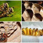 Wespen kweken