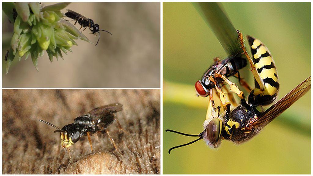 Voordelen van wespen