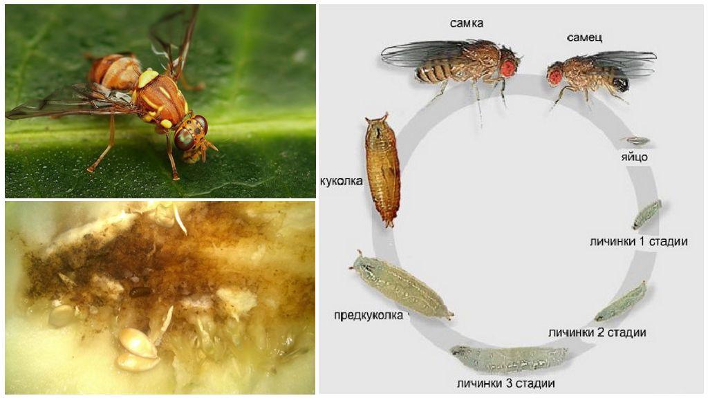 De ontwikkelingscyclus van een meloenvlieg