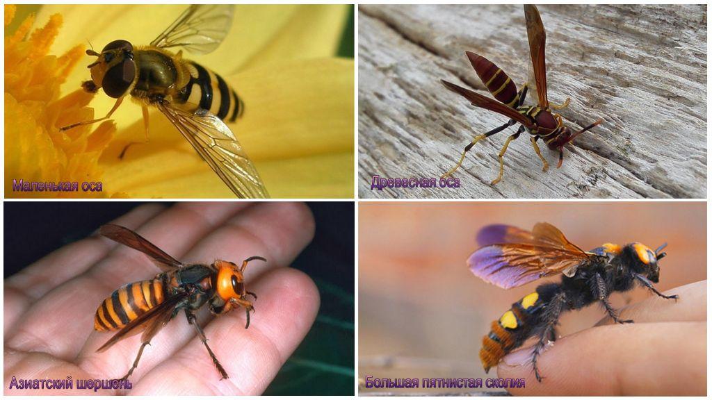 Wesp soorten