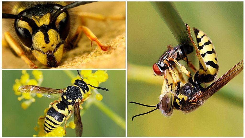 Wasp Visual Aid