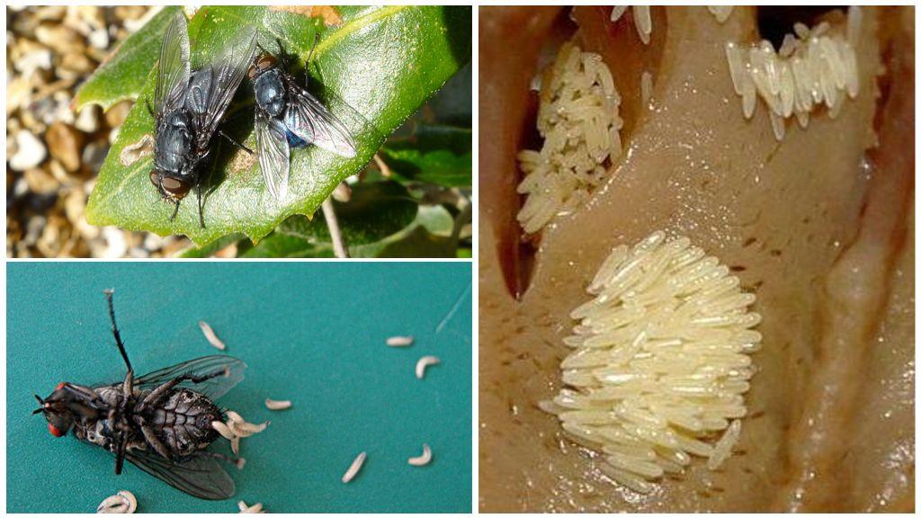 Eieren en vliegenlarven