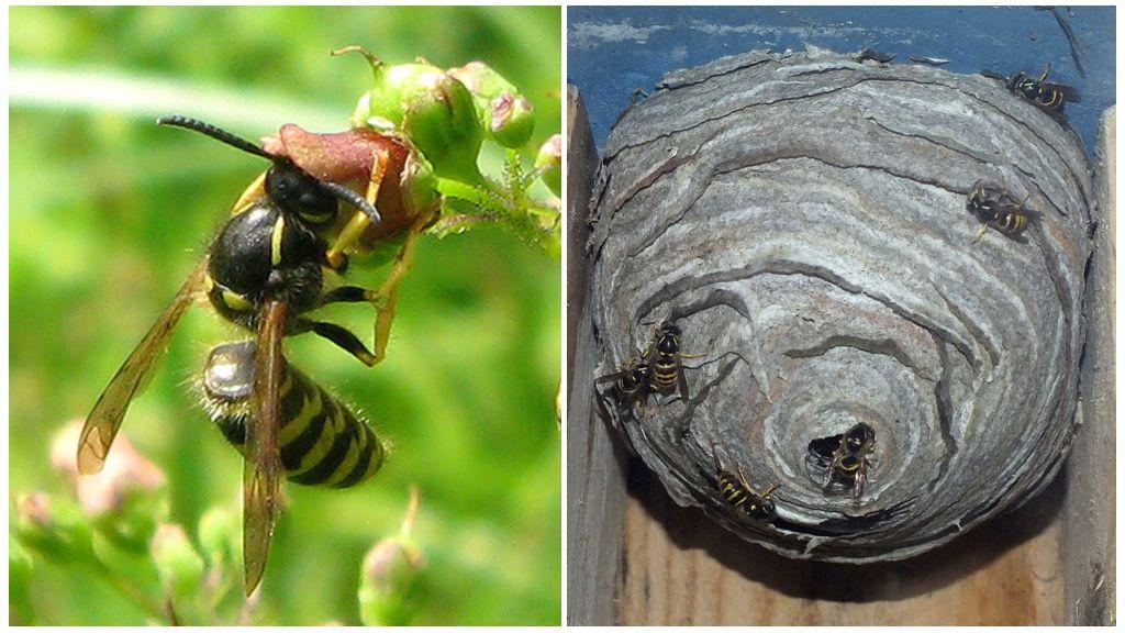 Wespen in het land