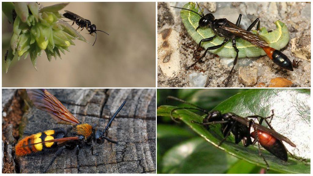 Verschillende soorten wespen