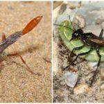 Ammophile Digging Wasp
