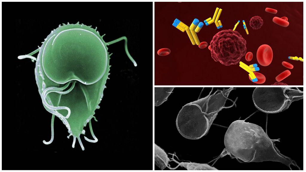 Antilichamen tegen Giardia