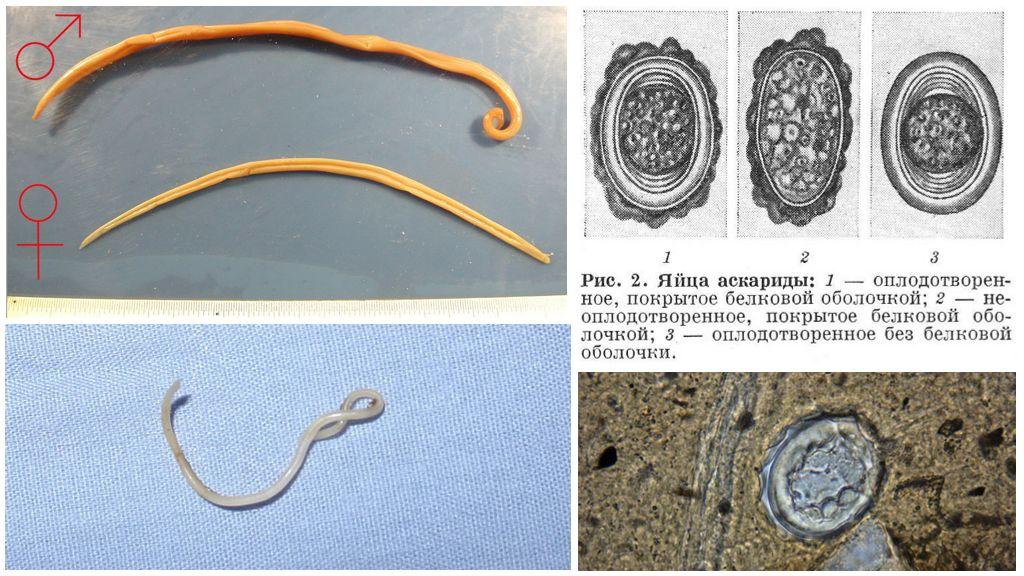 Rondworm en hun eieren