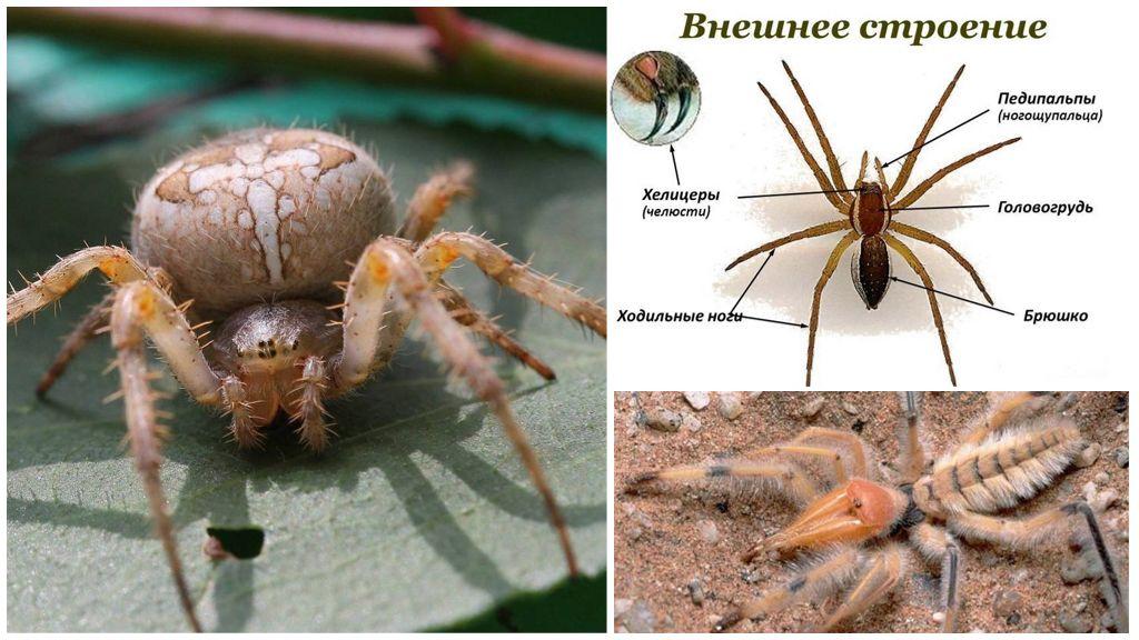 Spider benen