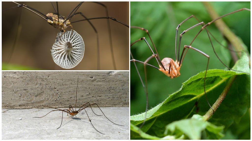 Spider zaailing (kosynozhka)