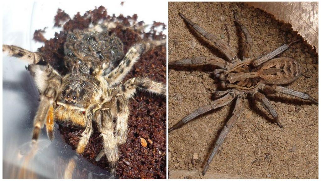 Zuid-Russische tarantula