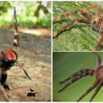 Spider vagebond