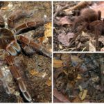 Spint tarantula-goliath