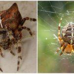 Spider kruis
