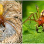 Gele Spider Sac