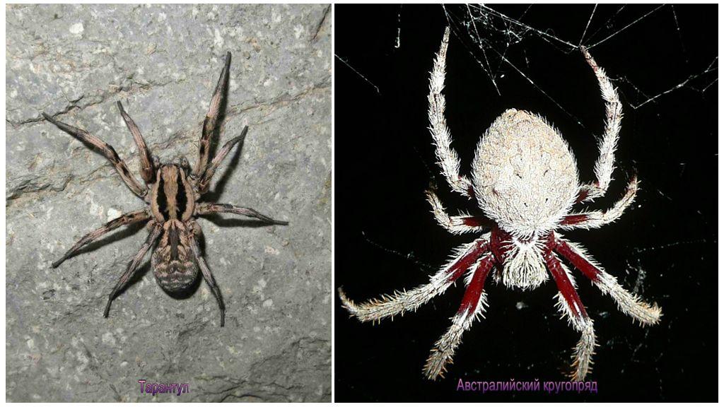Spinnen Australië