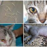 Tekenen van Ascariasis in katten