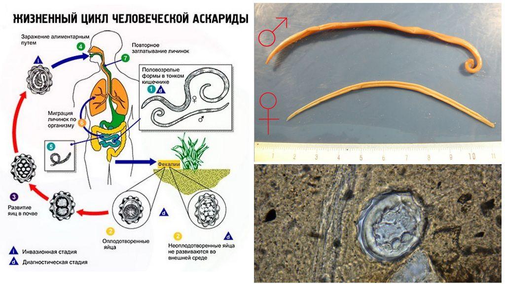 De levenscyclus van de parasiet