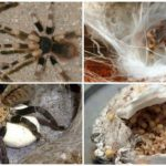 Kweken tarantula