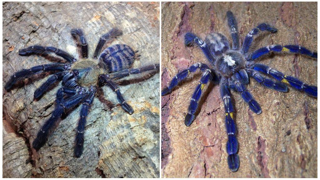 Blauwe spintarantula