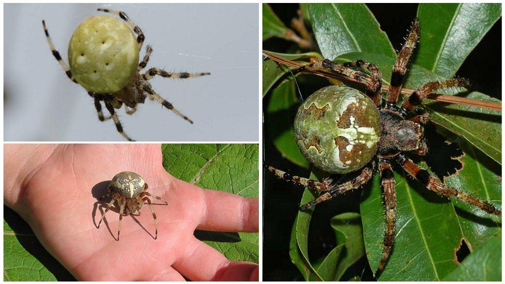 Soorten spinnen krestovikov
