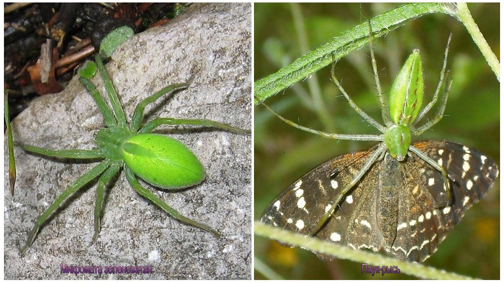 Groene spinnen van Rusland
